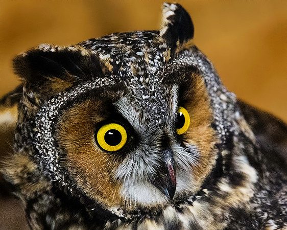 Long-eared Owl Portrait